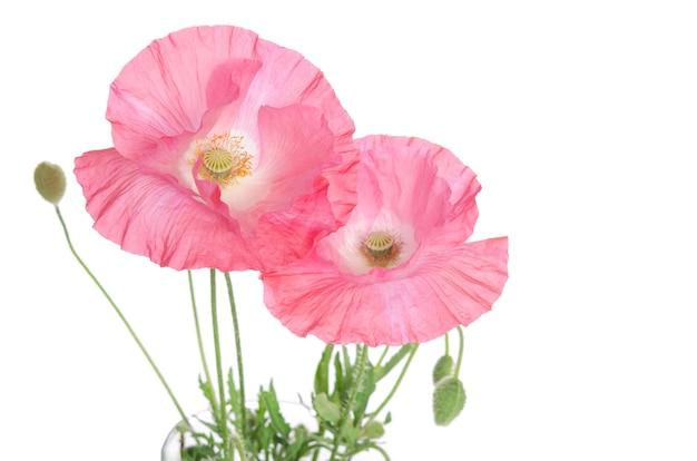 Schöne rosa mohnblumen
