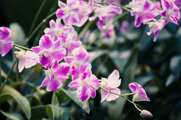 Schöne rosa orchideenblume, die im garten blüht