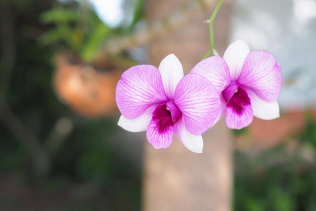 Schöne rosa orchideenblume im garten mit unscharfem hintergrund