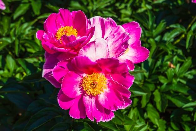 Schöne rosa paeonia-blumen, die im garten blühen