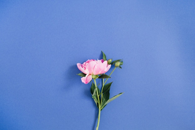 Schöne rosa pfingstrose auf dunkelblauem hintergrund. flach legen