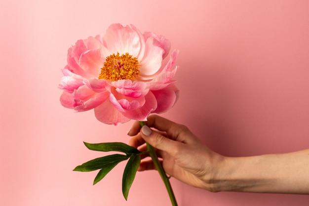 Schöne rosa pfingstrosenblume in der weiblichen hand auf pastellrosaoberfläche