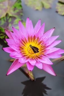 Schöne rosa pollenlotosblüten-insektenbiene fliegt mit pollen im see, reines rosafarbenes lotusblütengrünblatt.