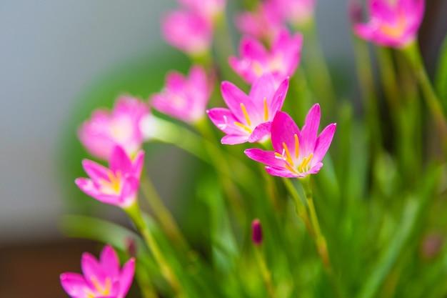 Schöne rosa regenlilienblume