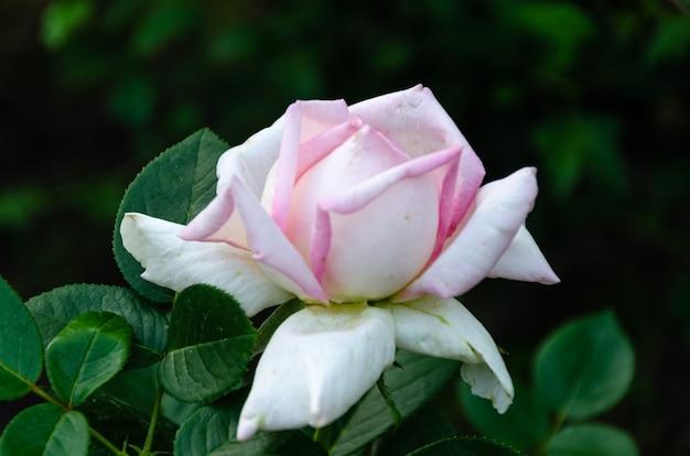 Schöne rosa rose im garten an einem sonnigen sommertag