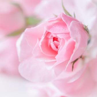 Schöne rosa rose mit wassertropfen auf weißem marmor kann als romantischer hintergrund mit weichem fokus verwendet werden