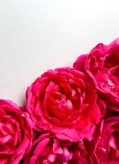 Schöne rosa rosen auf weißem hintergrund ideal für grußkarten