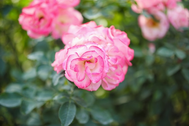 Schöne rosa rosen blühen im garten