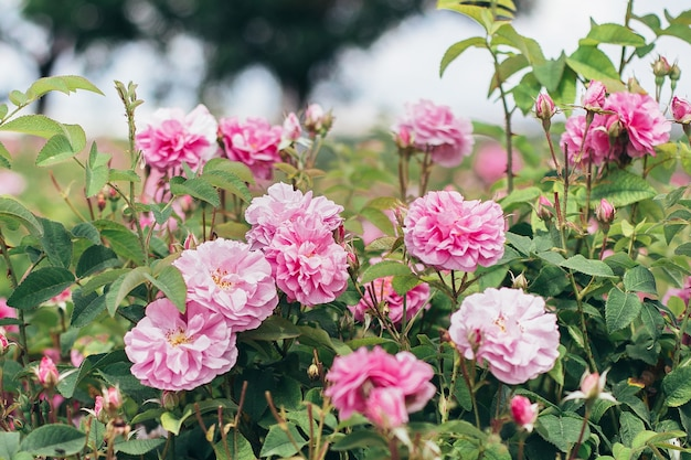 Schöne rosa rosen im garten in voller blüte