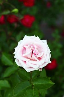 Schöne rosa rosen im garten.