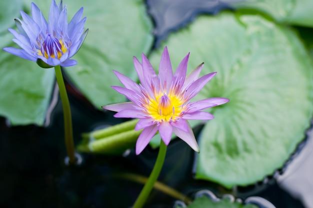 Schöne rosa seerose oder lotosblume