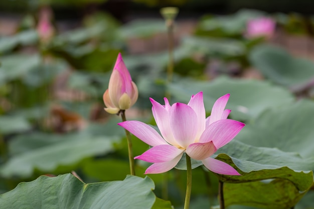 Schöne rosa seerose oder lotusblume. auch mit namen indian lotus, heiliger lotus, bohne von indien oder einfach lotus.