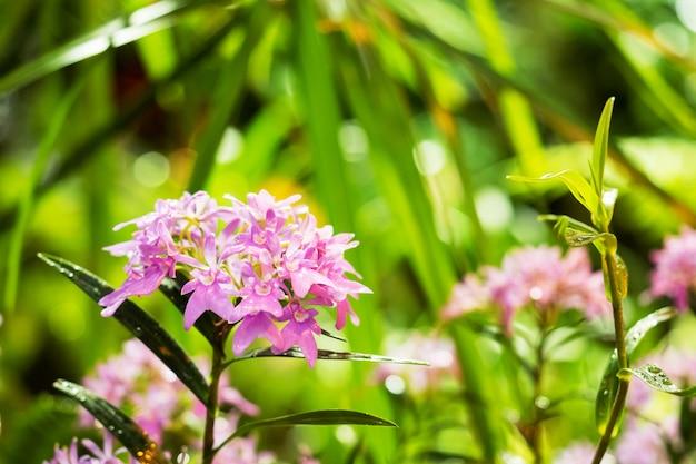 Schöne rosa tropische blume wächst in einem gewächshaus unter grünen blättern.