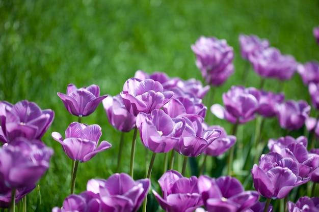 Schöne rosa tulpen im garten