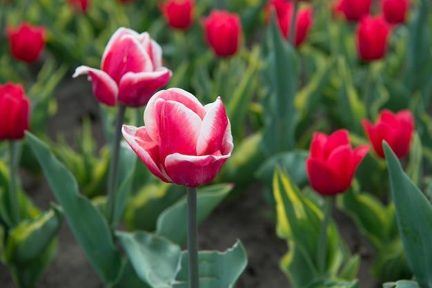 Schöne rosa tulpenfelder. holland im frühling. blumenbanner für floristik. rosa tulpenfeld, niederlande. blumenzwiebelfeld im frühling. harmonie in der meditation. pflanzen gießen.