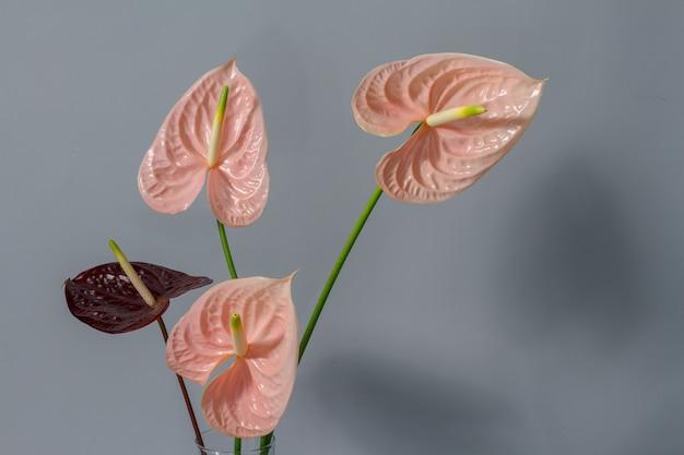 Schöne rosa und dunkelrot blühende anthuriumblumen