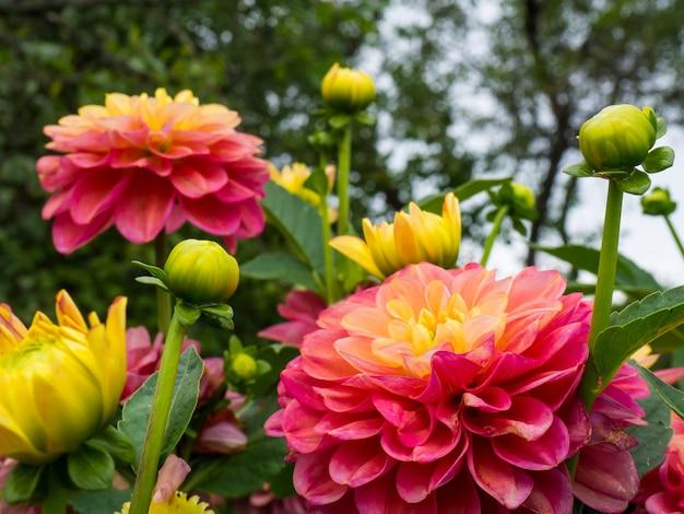 Schöne rosa und gelbe dahlien blühen im sonnenlicht, schöner blumenhintergrund