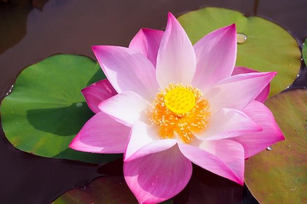 Schöne rosa waterlily oder lotosblume mit grün verlässt im fluss