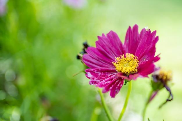 Schöne rosa wilde kosmosblumen im gartenabschluß oben auf natürlichem verwischtem und copyspace.