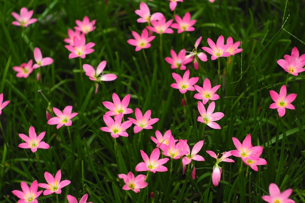 Schöne rosa zephyranthes grandiflorablume