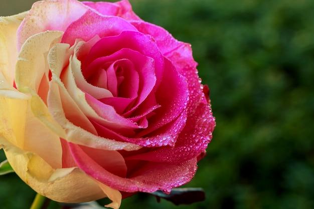 Schöne rosafarbene blume mit tautropfen