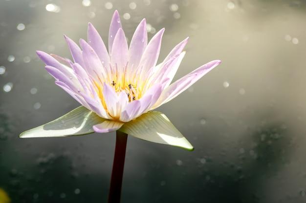 Schöne rosafarbene lotosblume. naher fokus mit grünem blatt herein im teich, tiefe brandung des blauen wassers