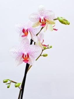 Schöne rosafarbene orchidee, getrennt auf einem weißen hintergrund.