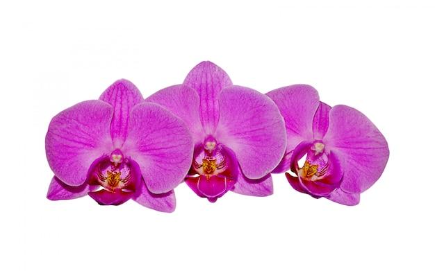 Schöne rosafarbene orchidee getrennt