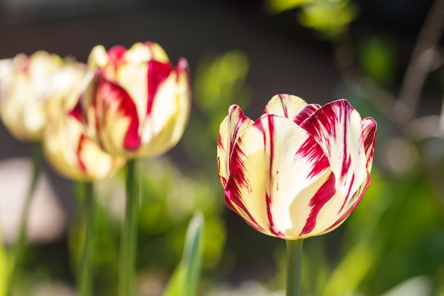 Schöne rosafarbene und weiße tulpe blüht mit grünem unscharfem hintergrund.