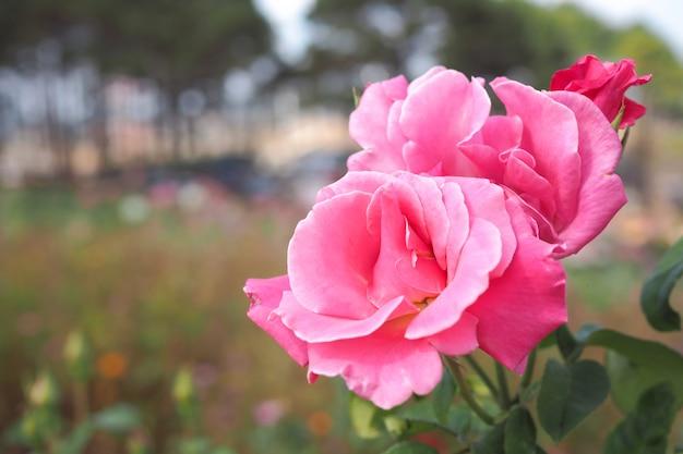 Schöne rosarose im garten mit bokeh unscharfem hintergrund