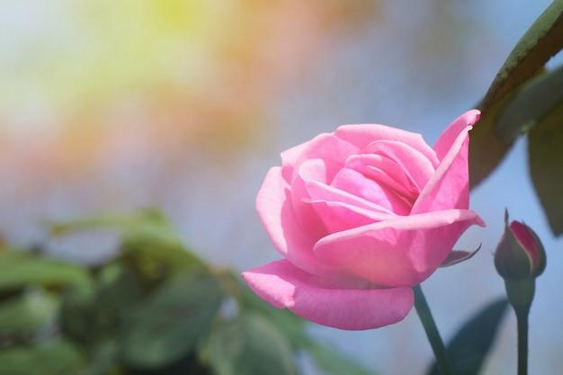 Schöne rosarose mit morgensonnenlicht