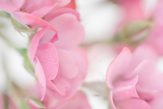 Schöne rosarosenblume, blumenzusammensetzung für hintergrund