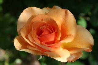 Schöne rose, schön