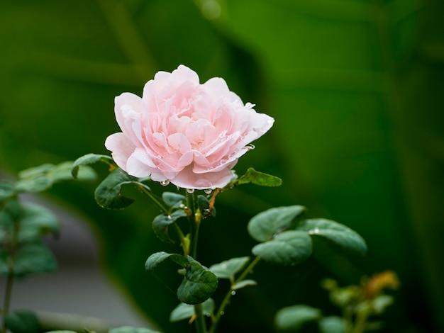 Schöne rosen in einem garten im freien