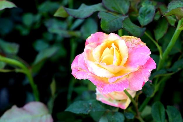 Schöne rosen in tropischen