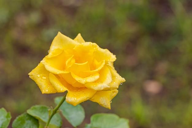 Schöne rosen nach regen