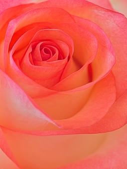 Schöne rosenblüte