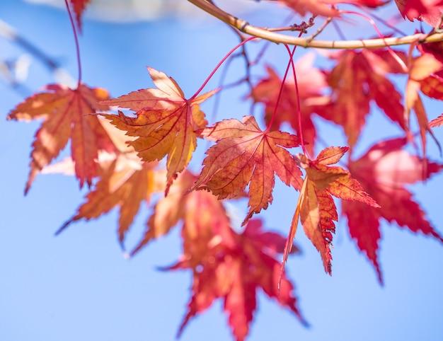 Schöne rote ahornblätter im sonnigen herbsttag, blauer himmel, nahaufnahme, kopierraum, makro