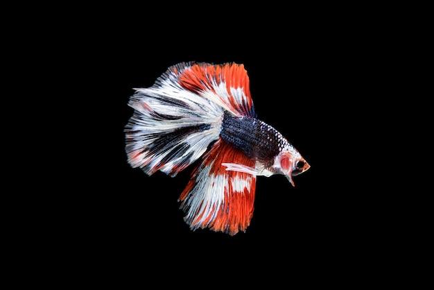 Schöne rote, blaue und weiße betta splendens, der siamesische kampffisch, der allgemein als betta bekannt ist, ist ein beliebter fisch im aquarienhandel.
