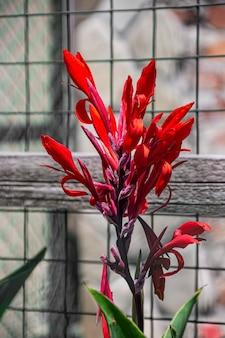 Schöne rote blume der canna-pflanze mit grünen blättern. nahaufnahmefoto.