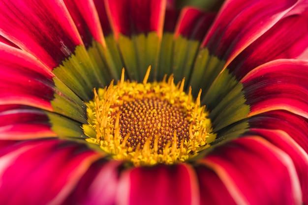 Schöne rote frische gänseblümchenblume