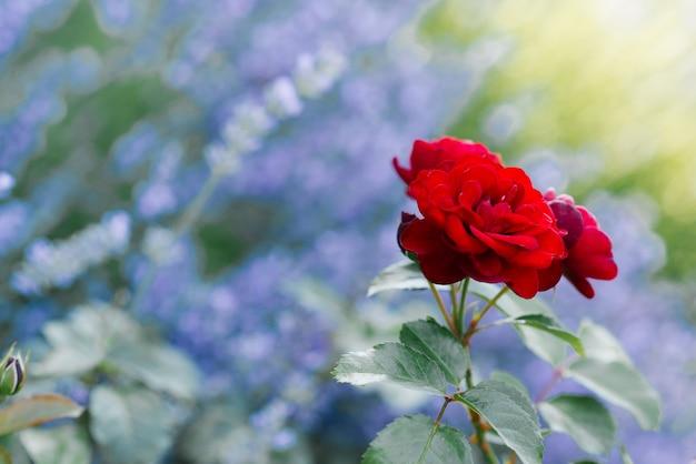 Schöne rote mini-rosen im garten im sommer. speicherplatz kopieren