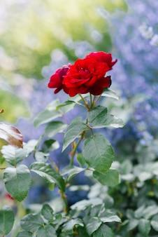 Schöne rote mini-rosen im garten im sommer