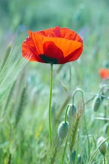 Schöne rote mohnblume auf dem feld mit grünem gras