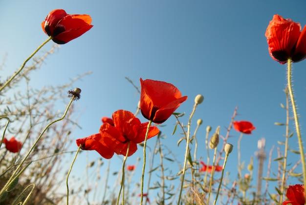 Schöne rote mohnblumen auf dem blauen himmel