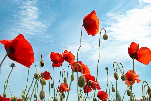 Schöne rote mohnblumen auf dem blauen himmelhintergrund