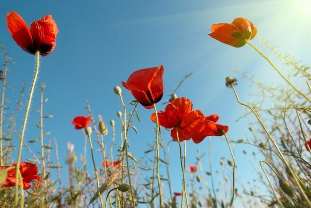 Schöne rote mohnblumen auf dem blauen sonnigen himmel
