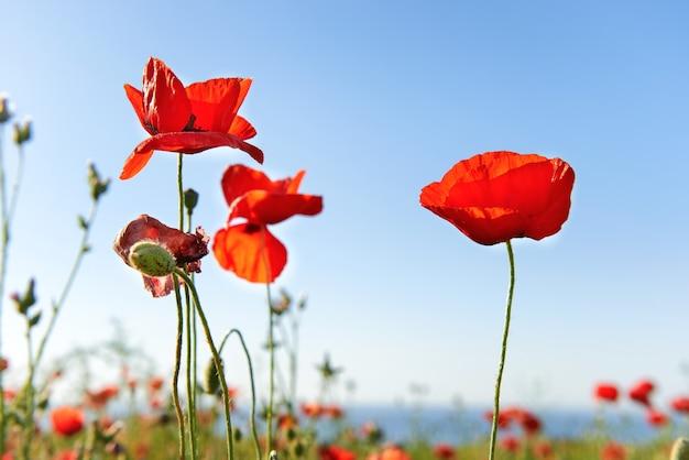 Schöne rote mohnblumen auf der grünen wiese