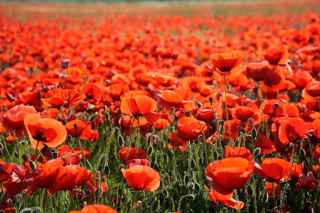 Schöne rote mohnblumen im frühling