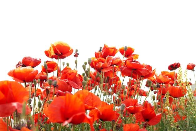 Schöne rote mohnblumen lokalisiert auf weißem hintergrund